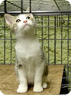 Domestic Shorthair Kitten for adoption in Marlinton, West Virginia - Roy--RESCUED!