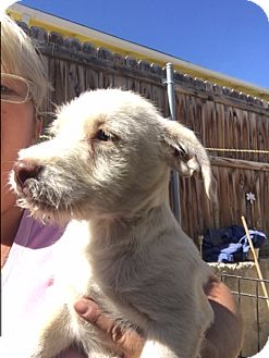 Terrier (Unknown Type, Medium) Mix Puppy for adoption in Thousand Oaks, California - Fonzy