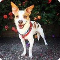 Jack Russell Terrier Mix Puppy for adoption in Santa Cruz, California - Max