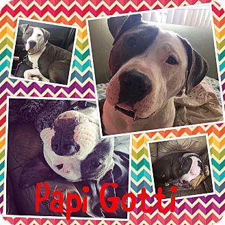 Pit Bull Terrier Mix Dog for adoption in Flossmoor, Illinois - Gotti