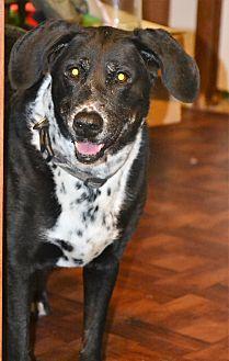 Labrador Retriever/Dalmatian Mix Dog for adoption in Melrose, Florida - Cleo
