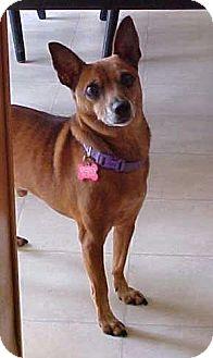 Chihuahua Dog for adoption in Dahlgren, Virginia - Joey - 14 lbs