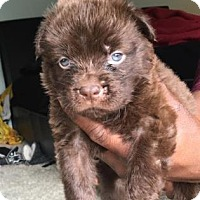 Border Collie Mix Puppy for adoption in Columbia, South Carolina - Bryce