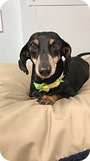 Dachshund Dog for adoption in Weston, Florida - Princess
