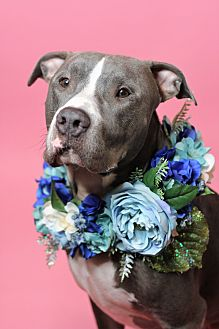 American Staffordshire Terrier Mix Dog for adoption in Los Angeles, California - Ricky