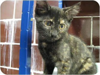 Domestic Shorthair Kitten for adoption in Centerburg, Ohio - Jalapeno