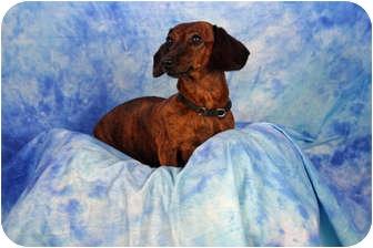 Dachshund Dog for adoption in Ft. Myers, Florida - Clara