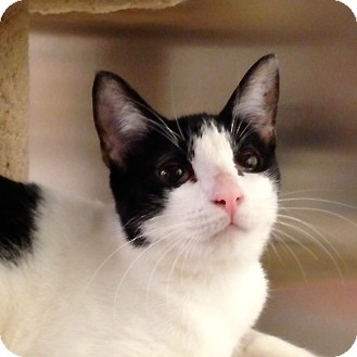 Domestic Shorthair Kitten for adoption in Foothill Ranch, California - Desiree