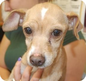 Chihuahua Mix Dog for adoption in Brooklyn, New York - Allie