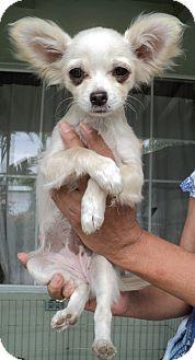 Chihuahua Puppy for adoption in Studio City, California - Princess