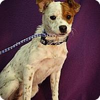 Adopt A Pet :: Salsa - Broomfield, CO