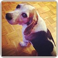 Adopt A Pet :: Tripper - Hamilton, ON