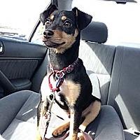 Adopt A Pet :: Rocket - Santa Monica, CA