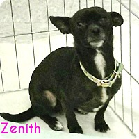Adopt A Pet :: Zenith - House Springs, MO