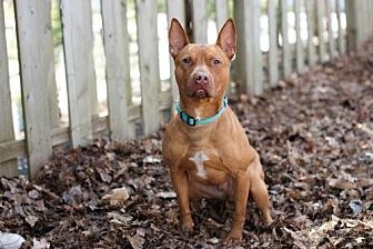 American Staffordshire Terrier/Pharaoh Hound Mix Dog for adoption in Armonk, New York - Lando