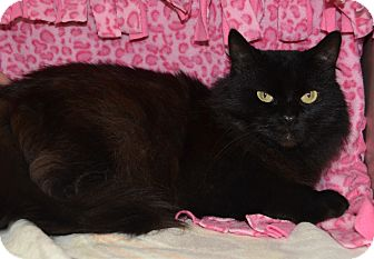 Domestic Longhair Cat for adoption in Michigan City, Indiana - Raven