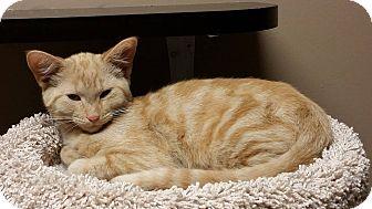 Domestic Mediumhair Cat for adoption in Troy, Michigan - Dean