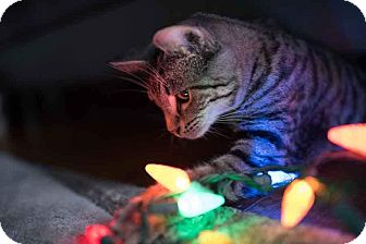 Domestic Shorthair Kitten for adoption in Columbus, Ohio - Elf