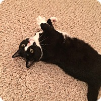Adopt A Pet :: Yzma (COURTESY POST) - Baltimore, MD