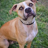 Adopt A Pet :: Boyo - Garland, TX