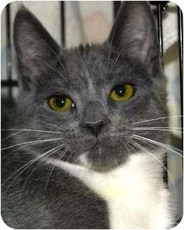 Domestic Mediumhair Cat for adoption in San Ramon, California - Bernie