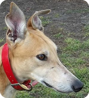Greyhound Dog for adoption in Longwood, Florida - Real Wild Child