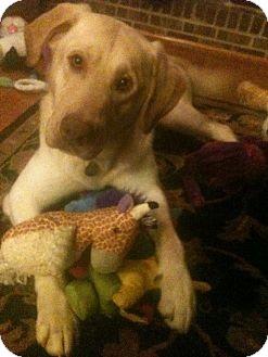 Labrador Retriever Mix Dog for adoption in Marietta, Georgia - Forrest