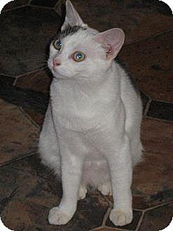 Domestic Mediumhair Cat for adoption in Sherman Oaks, California - Maya