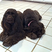 Adopt A Pet :: Cody - Sugarland, TX