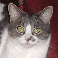 Domestic Shorthair Cat for adoption in St. Clair Shores, Michigan - Phoebe