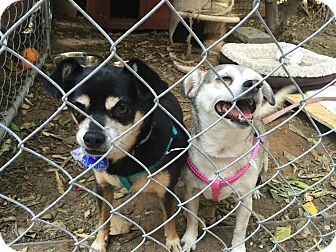 Chihuahua Mix Dog for adoption in Chatsworth, California - LEAH