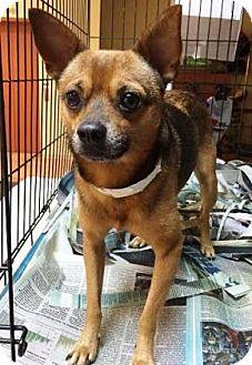 Chihuahua Mix Dog for adoption in Miami, Florida - Horton