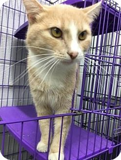 Domestic Mediumhair Cat for adoption in Paducah, Kentucky - Lily