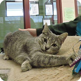 Domestic Shorthair Kitten for adoption in Slidell, Louisiana - Dorothy