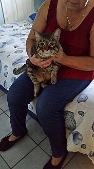 Domestic Shorthair Cat for adoption in Fellsmere, Florida - Sissy Marie