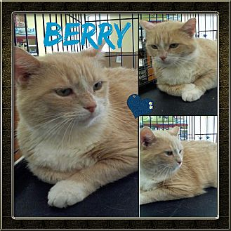 Domestic Shorthair Cat for adoption in Jeffersonville, Indiana - Berry