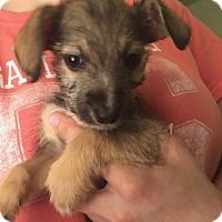 Adopt A Pet :: Dot - Flower Mound, TX