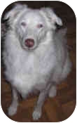 Australian Shepherd Dog for adoption in Mesa, Arizona - Ellie (Mantra)