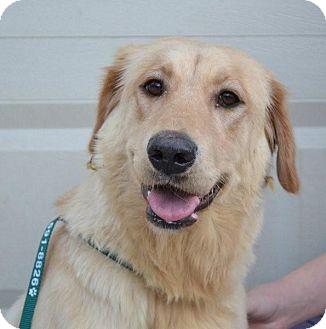 Golden Retriever/Labrador Retriever Mix Dog for adoption in Foster, Rhode Island - Summit