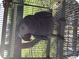 African Grey for adoption in Punta Gorda, Florida - Ricco