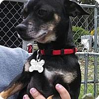 Adopt A Pet :: Chips - Seattle, WA