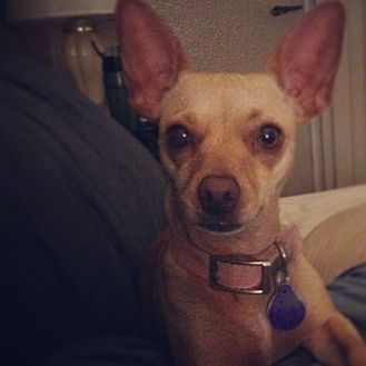 Chihuahua Dog for adoption in Fresno, California - Pinky Dinky Doo