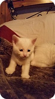 Domestic Mediumhair Kitten for adoption in Red Bluff, California - Corky