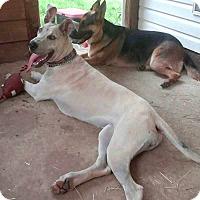 Adopt A Pet :: *Bella - PENDING - Westport, CT