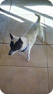 Chihuahua/Miniature Pinscher Mix Dog for adoption in Victorville, California - Zorro