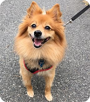 Pomeranian Dog for adoption in Rockaway, New Jersey - Phebe