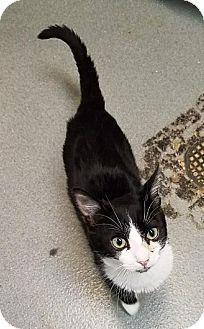 Domestic Shorthair Kitten for adoption in Westminster, California - Tundra