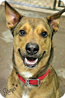 Shepherd (Unknown Type)/Shepherd (Unknown Type) Mix Dog for adoption in Dunkirk, New York - Rueger