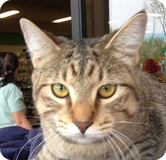 Domestic Shorthair Kitten for adoption in Chandler, Arizona - Mira