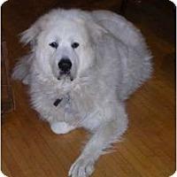 Adopt A Pet :: Nanook - Minneapolis, MN